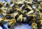 Caucasian bee – past and present